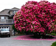 "125+ Yr Old Rhododendron ""Tree"" In Canada"
