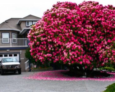 """125+ Yr Old Rhododendron """"Tree"""" In Canada"""