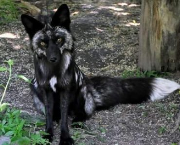 Are Black Foxes Uncommon?